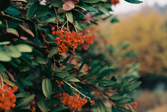 Manzanita (bingley0522) Tags: nikkormatft3 nikkor50mmf18 ektar100 calaverascounty sierrafoothills querencia murphys thanksgivingweekend autaut