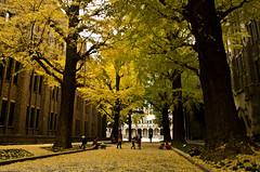 Under the ginkgo trees/銀杏樹下 (manposanpo) Tags: 東京大学 autumn ginkgo 銀杏 children university japan manposanpo