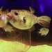 Team ECCO Aquarium and  Shark Lab  14 - Rosie - Dog Faced Puffer