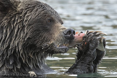 Salmon Snack (PamsWildImages) Tags: grizzly britishcolumbia bear nature naturephotographer wildlife wildlifephotographer salmon pamswildimages pammullins
