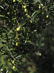 Olive Farming Spain Andalusia © Olivenanbau Spanien Andalusien © Olivar Andalucía © (hn.) Tags: provinciadecordoba sierradehorconera priegodecordoba southofpriegodecordobatown sierradejaula sierrahorconera spain europe andalusia andalucia spanien eu europa andalusien heiconeumeyer copyright copyrighted tp2018anda es españa baum tree pflanze plant nature natur árbol fruit anbau landwirtschaft agriculture campo olivenbaum frucht ölbaum oleaeuropaea olive aceituna olivegrove olivetree olivo aceituno sierrassubbéticas parquenaturaldesierrassubbéticas parquenatural sierra sierras subbéticas subbética naturpark
