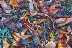 Seasons Change (gabi-h) Tags: leaves grass autumn fall foliage colourful gabih princeedwardcounty october carpetofleaves nature dryleaves ontheground