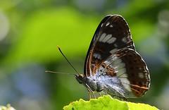 White Admiral -Limenitis camilla - Brownsea Island Dorset (5) (Ann Collier Wildlife & General Photographer) Tags: whiteadmiral limenitiscamilla brownseaisland dorset dorsetwildlife butterflies butterfliesmothsandcaterpillars