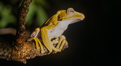 Borneo Eared Frog (si_glogiewicz) Tags: polypedates otilophus borneo eared tree frog amphibian jungle trees eye night malaysia