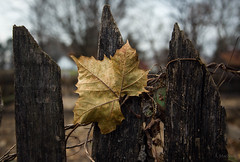 leaf fence (Jen MacNeill) Tags: landis valley museum lancaster pa history pennsylvania historical leaf leaves sycamore fence tree autumn fall