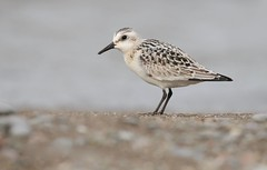 Pebble Beach (Slow Turning) Tags: calidrisalba sanderling juvenile bird migrant migrating migrate beach shore sand stones pebbles lake water autumn fall southernontario canada