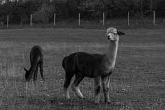 Les lamas alpaga (Lise Tiolu) Tags: animal lama alpaga camélidé nikon 1v3
