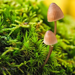 Otoño, setas (marianoabad1) Tags: mzuiko60mm mzuiko omdem1markii olympus autumn otoño setas fotografíamacro macro fotografíadenaturaleza naturaleza nature naturephotography