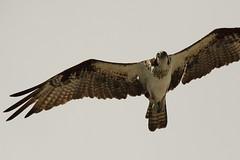 F918 Osprey EF100-400/4.5-5.6 7DMkII @Mexico H89A7684 (Hiro sensei photos) Tags: ef100400mmf4556 7dmkii birds mexico