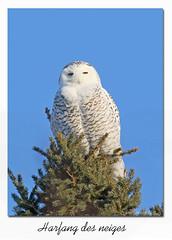 Harfang de neiges / Snowy Owl  153A5175 (salmo52) Tags: oiseaux birds salmo52 alaincharette harfangdesneiges snowyowl stbarthélemy rangstjacques buboscandiacus strigiformes strigidés strigidae