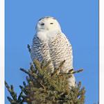 Harfang de neiges / Snowy Owl  153A5175 thumbnail