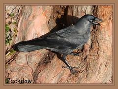 Jackdaw (maryimackins) Tags: jackdaw wildlife kent mary mackins tonbridge