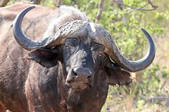 Portrait of African buffalo (Syncerus caffer) (Mikhail & Yana) Tags: africanbuffalo capebuffalo synceruscaffer animal mammal nature wildlife krugernationalpark африканскийбуйвол чёрныйбуйвол кафрскийбуйвол