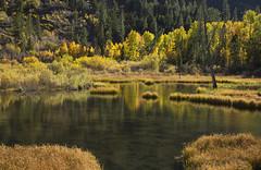 Aspens, Conifers, & Marsh (marlin harms) Tags: quakingaspen populustremuloides marsh fallcolor easternsierra