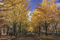 DSC_9541 (juor2) Tags: hokkaido university ginkgo autumn yellow campus nikon scene travel japan d4 reflection
