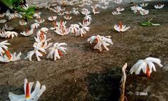 Sheuli Flower (Sheuli Hossain) Tags: