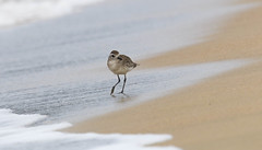Black-bellied Plover (Pluvialis squatarola) (Kremlken) Tags: shorebirds beach birds birding birdwatching plovers nonbreedingplumage puertorican neotropical nikon500 shores