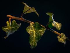 five at one swoop (HMM !) (ralfkai41) Tags: makro plant macromondays ranke pflanze ivy nature macro branch efeu leafs zweig blätter natur lowkey redux2018