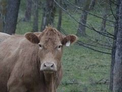 "Photo Series: Life on the farm is: ""Coming out of the trees"" (Ken Whytock) Tags: cattle cow heifer beek beef farm pasture stare rural ontario canada"