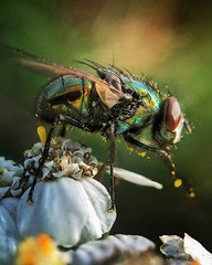 ...on the fly (jonmacephotography) Tags: miniature creature flower detail macro insect fly