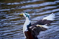 Ik love nature (d50harry123) Tags: duck animal natuur nature natuurfotograaf natuurfotografie