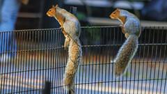 Sitting on the fence - obviously a pair of politicians (Frank Fullard) Tags: frankfullard fullard fence street animal squirrel newyork lol fun skit politician manhattan us america tail bushy park color colour wild