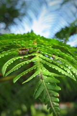 Macro I (STEHOUWER AND RECIO) Tags: macro fern philippines green closeup nature flora leaves bokeh life floral plant tropical tropisch