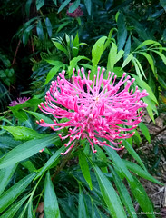 Alloxylon pinnatum- Dorrigo Waratah (Black Diamond Images) Tags: cooltemperatearf proteaceae alloxylon alloxylonpinnatum dorrigowaratah arfp nswrfp qrfp nightjarnatives davemadden arfflowers pinkarfflowers pinkfp australianrainforestplants rainforestplants rainforestflowers
