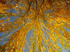 Herbstfärbung Hängeweide (Jörg Paul Kaspari) Tags: trier hängeweide herbst autumn fall salix alba tristis herbstfärbung himmel sky autumncolor blatt blätter leaf leaves golden gelbe yellow