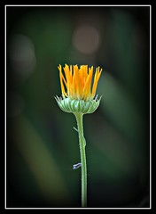 Calendula Officinalis (patrick.verstappen) Tags: calendula goudsbloem flower two garden d7100 belgium gingelom google flickr facebook sigma winter december photo picassa pinterest pat yahoo ipernity ipiccy stillife border outdoor serene plant petal depth field d5100 nikon nature belgie bélgica patrickverstappen xxx calendulaofficinalis medical homeopathic goldflower lovely original