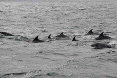 Bottlenose dolphins (MarBio Abbie) Tags: dolphin bottlenose bottlenosedolphin cetacean falmouth cornwall akwildlifecruise ocean marinebiology marine biology calf calves nature wildlife
