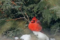 Ambiance hivernale / Winter Climax (alainmaire71) Tags: oiseau bird cardinalidae cardinaliscardinalis cardinalrouge northerncardinal nature quebec canada hiver winter