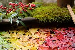 Gradation  グラデーション (yukky89_yamashita) Tags: 楊谷寺 柳谷観音 長岡京市 京都 kyoto nagaokakyo japan temple youkokuji autumn leaves maple gradation