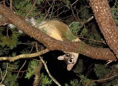 Ringtail-Madera Canyon (2) (gskipperii) Tags: wildlife arizona animal nature outdoors fauna maderacanyon nationalforest tucson southernarizona