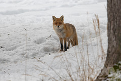 Red Fox (fascinationwildlife) Tags: animal mammal wild wildlife winter nature natur park wald forest forstenried forstenrieder red fox fuchs rotfuchs cur curious snow schnee morning deu deutschland germany bayern bav bavaria munich münchen europe tiere