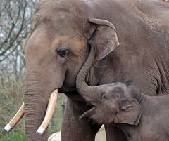 asiatic elephant Nicolai en  sanuk artis 094A0350 (j.a.kok) Tags: olifant asiaticelephant aziatischeolifant animal artis asia ape elephant mammal zoogdier dier nicolai sanuk