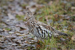 Ruffed Grouse (Turk Images) Tags: bonasaumbellus borealfringe ruffedgrouse alberta birds phasianidae rugr thorhild fall