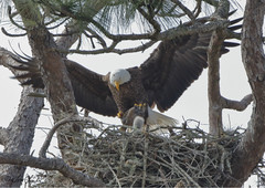 Bald Eagle with Fish (TomLamb47) Tags: nature wildlife bird baea bald eagle eaglet chick fish nest tree flight bif florida fl canon 7d2 500mm