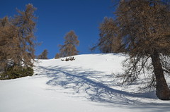 Mélèzes (RarOiseau) Tags: arbre ombre neige soleil montagne mélèze chorges hautesalpes 2015 snow sun shadow tree winter white blanc naturebynikon v1000