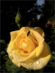 (Tölgyesi Kata) Tags: nemzetibotanikuskert vácrátótibotanikuskert botanikuskert botanicalgarden withcanonpowershota620 vácrátót ősz rosen rosa rose rózsa flower fleur virág autumn herbst harmat dew