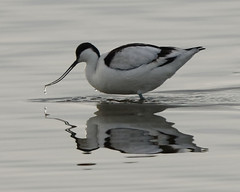Photo of Avocet reflected