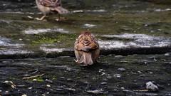 jack SPARROW (dpkesuma) Tags: bird nature mothernature creativephotography birdphoto sparrow naturephotography
