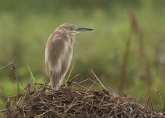 Squacco Heron - Ardeola ralloides (Gary Faulkner's wildlife photography) Tags: squaccoheron ardeolaralloides