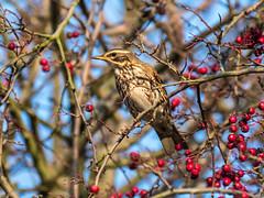 Redwing (Maria-H) Tags: redwing turdusiliacus hawthorn berries oldglossop derbyshire highpeak peakdistrict uk olympus omdem1markii panasonic 100400
