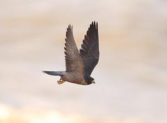 Peregrine falcon take off (charlescpan) Tags: