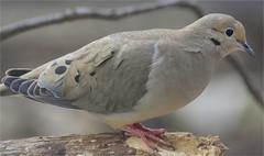 Zenaida Macroura (ioensis) Tags: zenaidamacroura mourningdove dove bird webstergroves missouri mo jdl ioensis 31600001903131b©johnlangholz2019 march 2019
