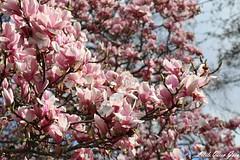 Spring Bloom (Little Queen Gaou) Tags: magnolia fleurs flowers flower fleur printemps spring garden parc jardin champs mars march eiffel tower tour blue sky ciel bleu inspiration photography photographie france discovery découverte travel voyage capitale paris