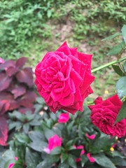 no rose is lonely, until it is plucked for one :) (kxchawla) Tags: iphone travel chawla kanksha pinkrose rose closeup macro flower cameron cameronhighlands