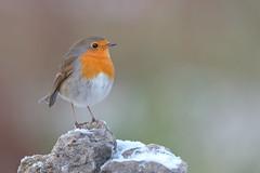 Robin / Pettirosso (Cristiano Tedesco) Tags: snowy snow cold frozen bird nature wild