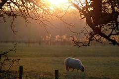 Crispy day (Eric Rebaser) Tags: utrecht sheep sunset littledoglaughedstories